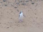 Pingwin żółtooki  Hoiho  Yellow-eyed penguin